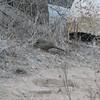 California Towhee - Santa Rosa Plateau Ecoglogical Reserve - Murrieta, CA  2-15-07