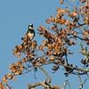 Acorn Woodpecker - Santa Rosa Plateau Ecoglogical Reserve - Murrieta, CA  2-15-07