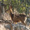 Mule Deer Fawn - Santa Rosa Plateau Ecoglogical Reserve - Murrieta, CA  2-15-07