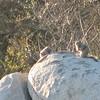 California Ground Squirrels - Santa Rosa Plateau Ecoglogical Reserve - Murrieta, CA  2-15-07