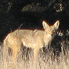 Coyote - Long-range Shot for the Camera - Santa Rosa Plateau Ecoglogical Reserve - Murrieta, CA  2-15-07