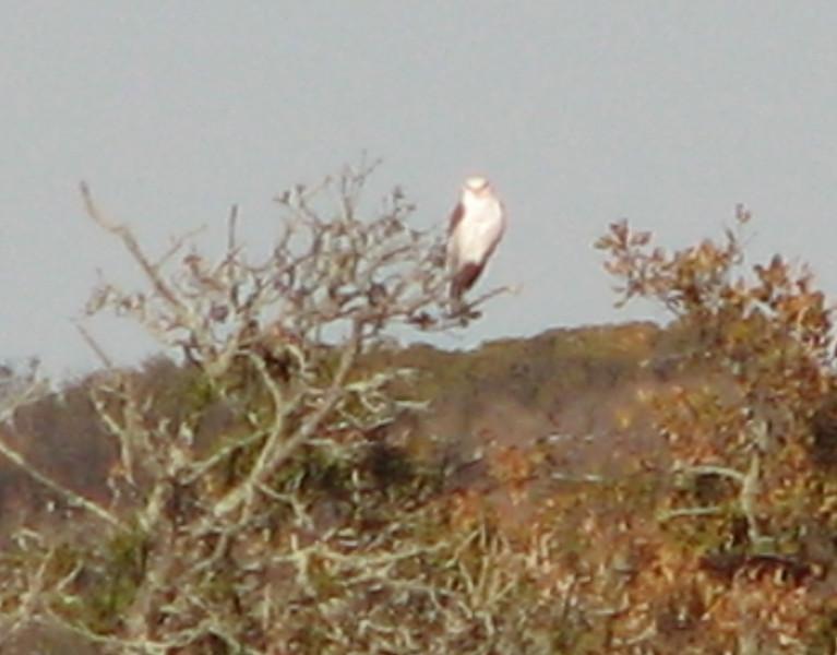 White-tailed Kite - Santa Rosa Plateau Ecoglogical Reserve - Murrieta, CA  2-15-07