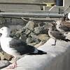 Western Gull on Left Next to Two Herrmann's Gulls  - Seaport Village - San Diego 2-13-07