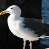 Western Gull - Seaport Village - San Diego 2-13-07