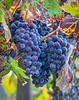 Pinot Noir grapes, used with Chardonnay grapes, are the main ingredients to Korbel Champagne.