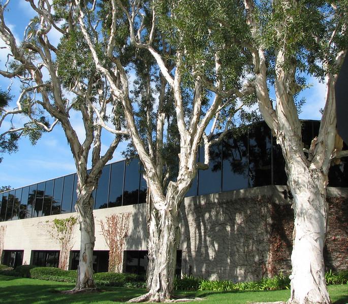 Interesting Trees With Shredding Bark