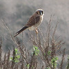 American Kestrel - Upper Newport Bay Nature Preserve 2-12-07