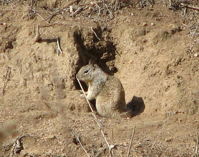 California Ground Squirrel - Upper Newport Bay Nature Preserve 2-12-07