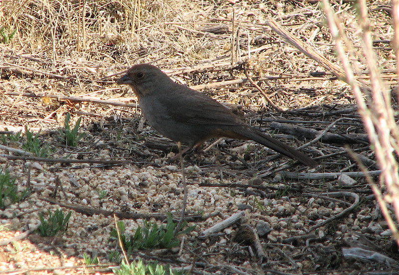 California Towhee - Upper Newport Bay Nature Preserve 2-12-07