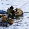 2020-08-17_47_Morro Bay_Otters.JPG