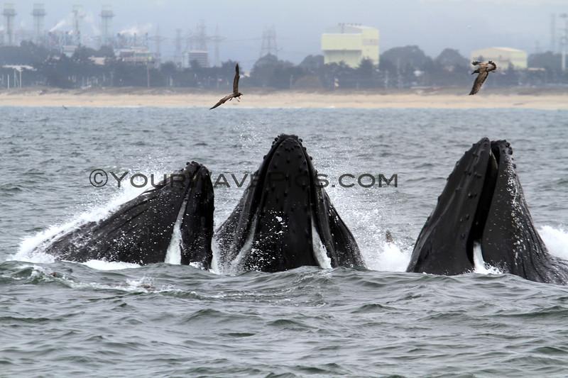 2018-09-21_9313_Moss Landing_Blue Ocean Whale Watch_Humpbacks Lunge Feeding.JPG