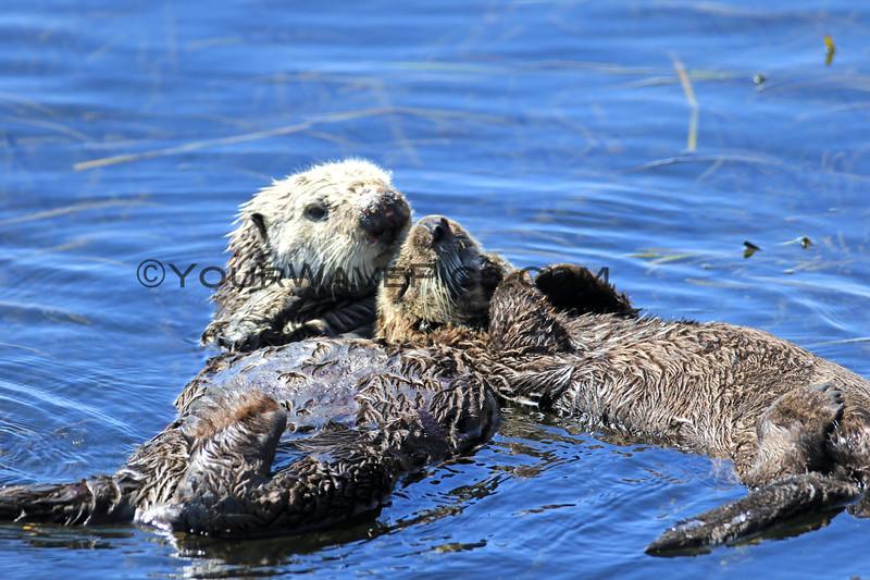 2018-09-18_Morro Bay_Otters_30.JPG