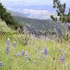 9785_Figueroa Mountain Lupins_03-17-15.JPG