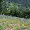 9787_Figueroa Mountain Flowers_03-17-15.JPG