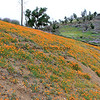 9779_Figueroa Mountain Poppies_03-17-15.JPG
