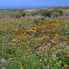 9870_Montana de Oro_Bluff Trail_Poppies_03-18-15.JPG