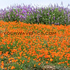 9784_Figueroa Mountain Poppies_03-17-15.JPG