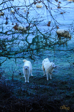 Sheep dogs guarding their flock on a frosty morning