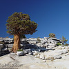 I lone Juniper tree on the glacier polished white granite.