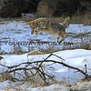 2016-12-04_Yosemite_Coyote_6.JPG<br /> <br /> This coyote suddenly pounced on something it heard in the snow!