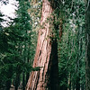 Mariposa Grove - A Giant Sequoia - Yosemite National Park  9-9-03