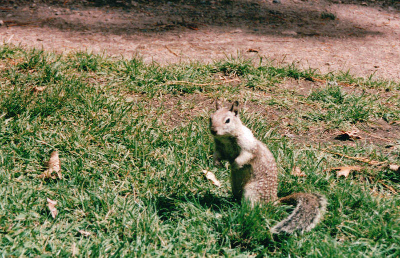 California Ground Squirrel at Ahwahnee Hotel - Yosemite National Park  9-9-03