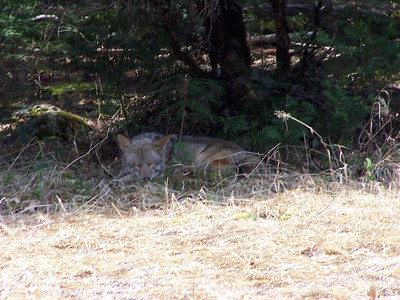 Sleeping coyote seems oblivious to the fascinated people watching from the road.