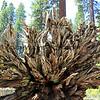 2019-06-11_2_Yosemite_Mariposa Grove.JPG