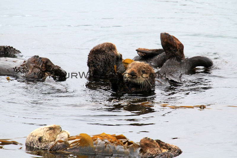 2019-06-22_541_Morro Bay_Otters_Mom and Pup.JPG<br /> <br /> This pup got knocked off its mom's chest when some frisky juveniles decided to swim into the raft and stir up all the otters!