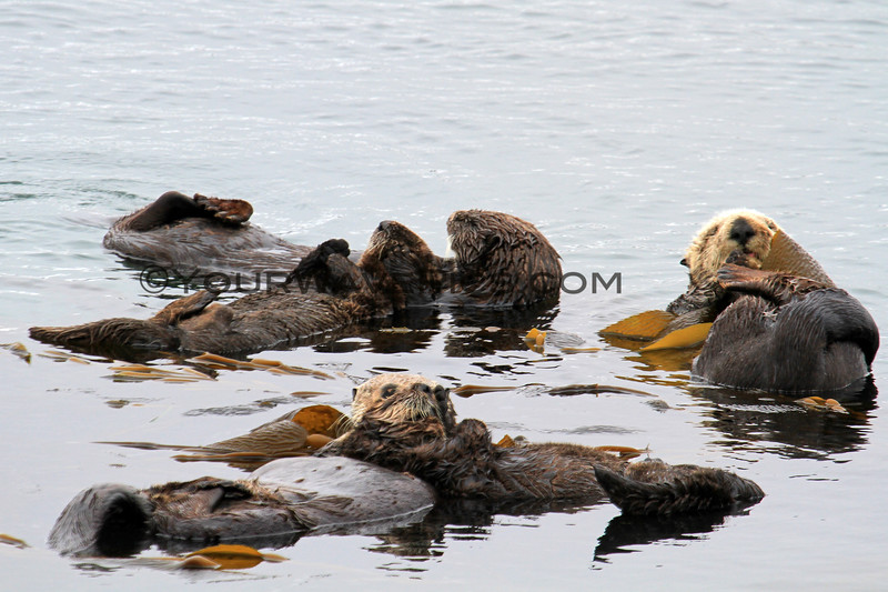 2019-06-22_534_Morro Bay_Otters_Moms and Pups.JPG<br /> <br /> If you look closely, there are two pups on their mom's chests