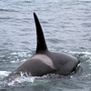 2019-06-19_332_Moss Landing_Orca.JPG<br /> Orcas with Sanctuary Cruises, Moss Landing