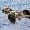 2019-06-22_566_Morro Bay_Otters.JPG