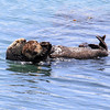 2019-06-22_564_Morro Bay_Otters_Mom and Pup.JPG<br /> <br /> Mom is snuggling her pup