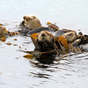 2019-06-22_542_Morro Bay_Otters in Kelp.JPG<br /> <br /> Otters will wrap themselves up in kelp to keep from drifting away while they nap.