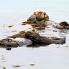 2019-06-22_531_Morro Bay_Otters_Mom and Pup.JPG