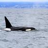 2019-06-19_356_Moss Landing_Orca.JPG<br /> Orcas with Sanctuary Cruises, Moss Landing