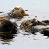 2019-06-22_540_Morro Bay_Otters_Mom and Pup.JPG