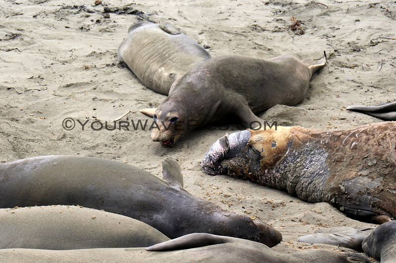 2019-06-21_461_Piedras Blancas_Molting Elephant Seals.JPG<br /> <br /> These elephant seals have come ashore to molt.  They look pretty pitiful during the process!