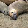 2019-06-21_464_Piedras Blancas_Molting Elephant Seals.JPG<br /> <br /> These elephant seals have come ashore to molt.  They look pretty pitiful during the process!