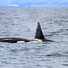 2019-06-19_347_Moss Landing_Orcas.JPG<br /> Orcas with Sanctuary Cruises, Moss Landing