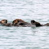 2019-06-19_378_Moss Landing_Otters.JPG<br /> Otters with Sanctuary Cruises, Moss Landing