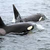 2019-06-19_312_Moss Landing_Orcas.JPG<br /> Orcas with Sanctuary Cruises, Moss Landing