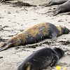 2019-06-21_466_Piedras Blancas_Molting Elephant Seals.JPG<br /> <br /> These elephant seals have come ashore to molt.  They look pretty pitiful during the process!