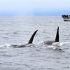 2019-06-19_325_Moss Landing_Orcas_High Spirits.JPG<br /> Orcas with Sanctuary Cruises, Moss Landing