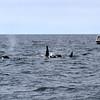 2019-06-19_373_Moss Landing_Orcas.JPG<br /> Orcas with Sanctuary Cruises, Moss Landing