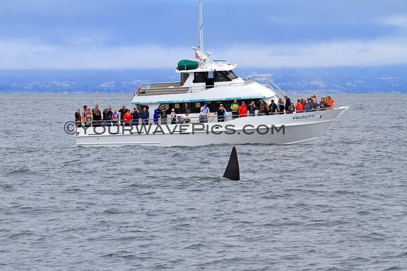 2019-06-19_351_Moss Landing_Orca_Velocity.JPG<br /> Moss Landing Orcas
