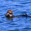 2019-06-21_497_Morro Bay_Otter.JPG
