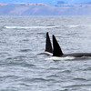 2019-06-19_365_Moss Landing_Orcas.JPG<br /> Orcas with Sanctuary Cruises, Moss Landing
