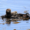 2019-06-22_561_Morro Bay_Otters_Mom and Pup.JPG<br /> <br /> The pup (left) is almost as big as its mom!