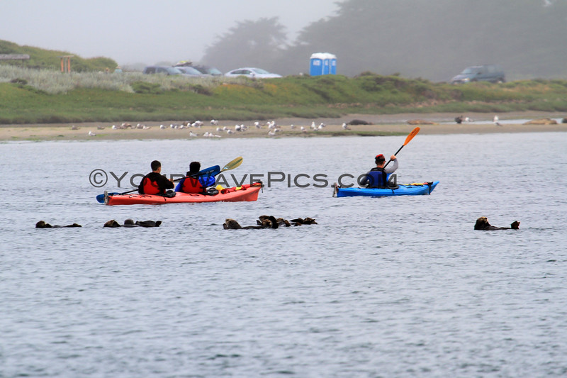 2019-06-19_303_Moss Landing_Otters_Kayakers.JPG<br /> Otters with Sanctuary Cruises, Moss Landing